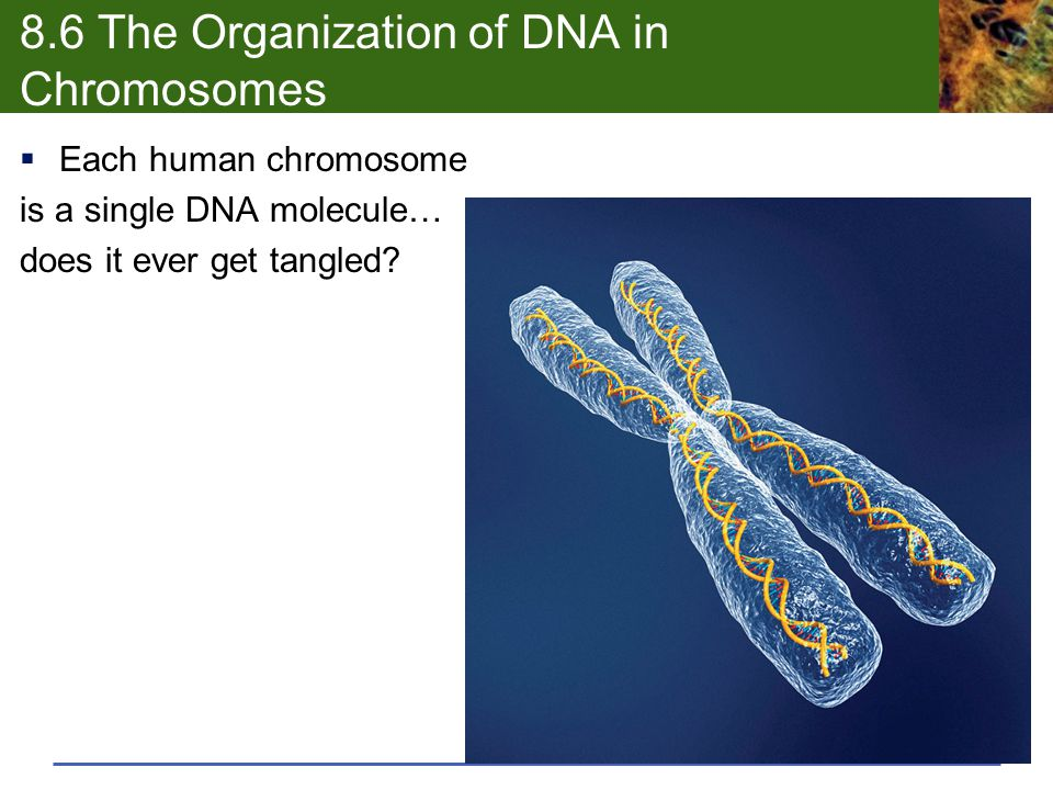 8.6 The Organization of DNA in Chromosomes