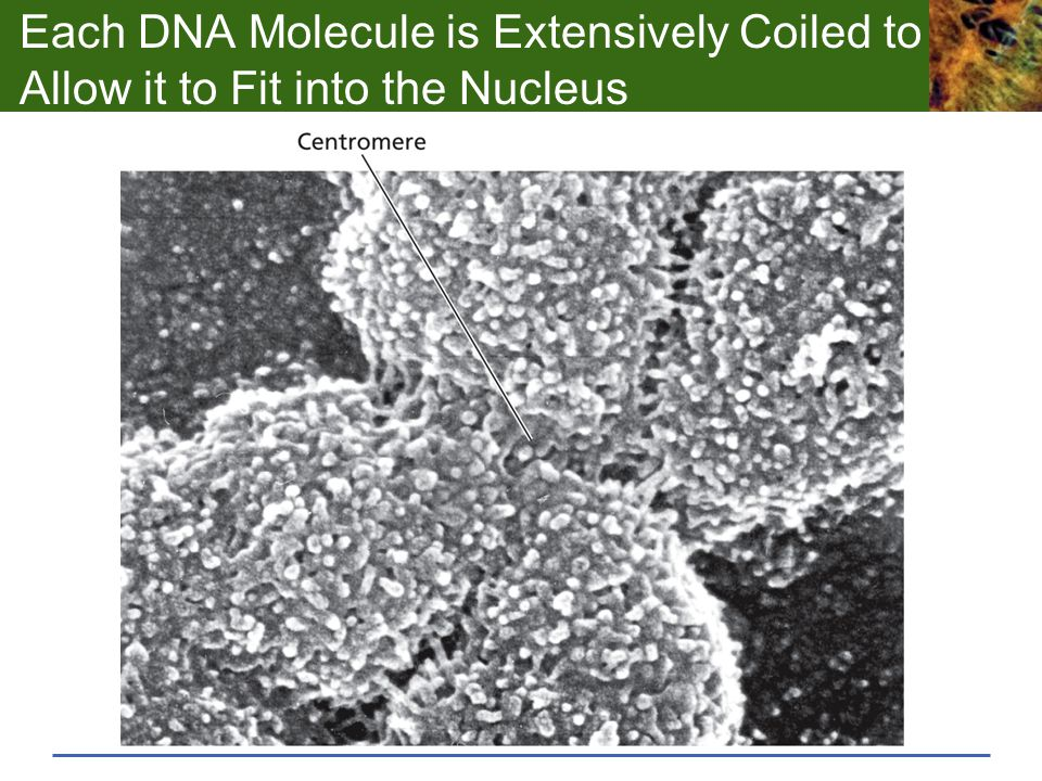 Each DNA Molecule is Extensively Coiled to Allow it to Fit into the Nucleus