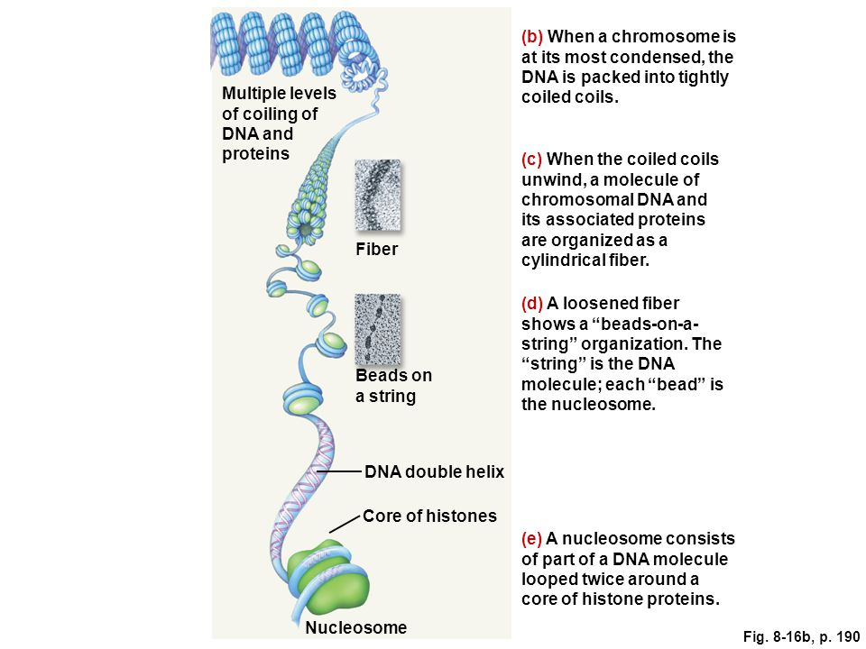 Multiple levels of coiling of DNA and proteins