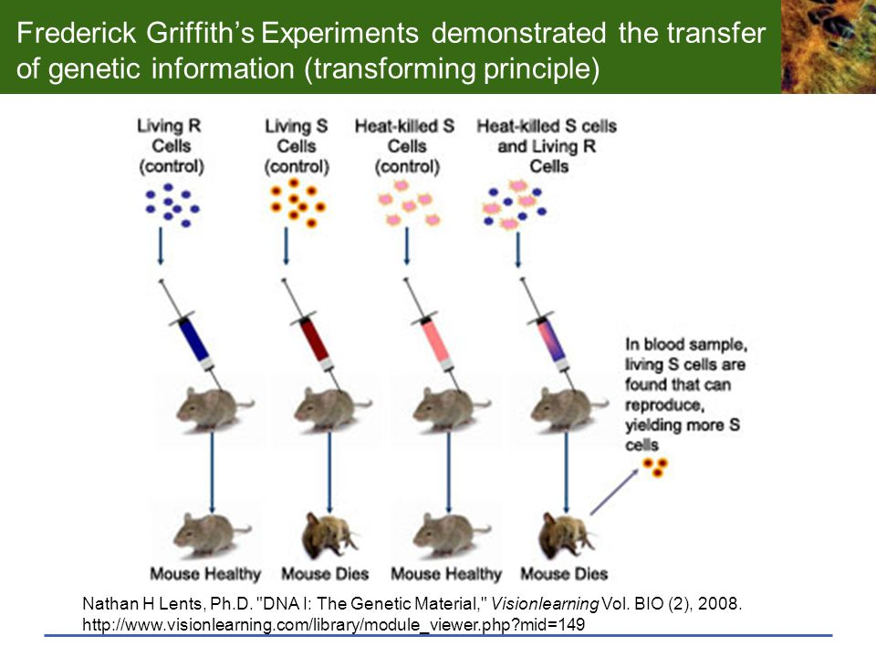 Frederick Griffith's Experiments demonstrated the transfer of genetic information (transforming principle)