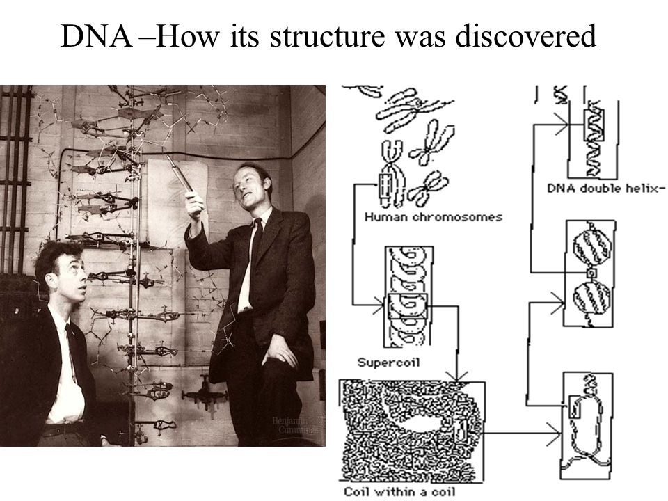 DNA –How its structure was discovered