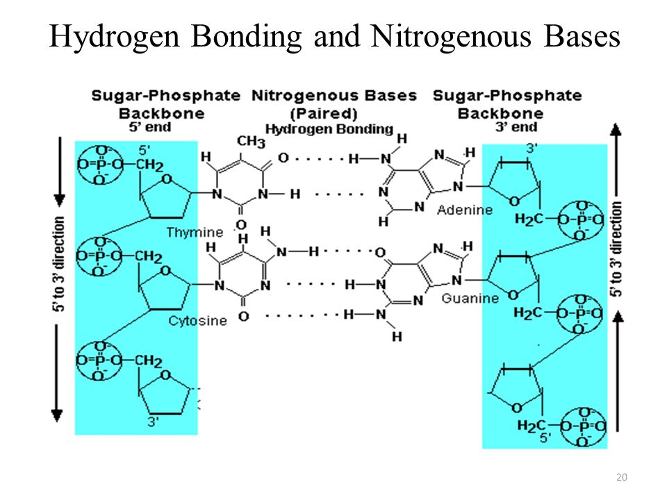 Hydrogen Bonding and Nitrogenous Bases