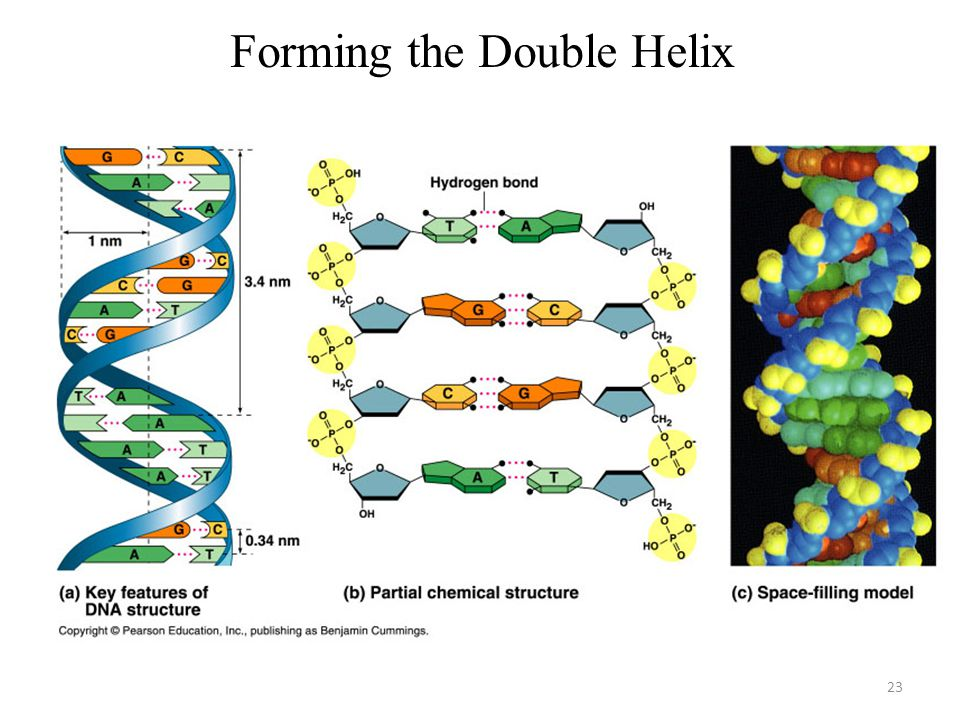 Forming the Double Helix
