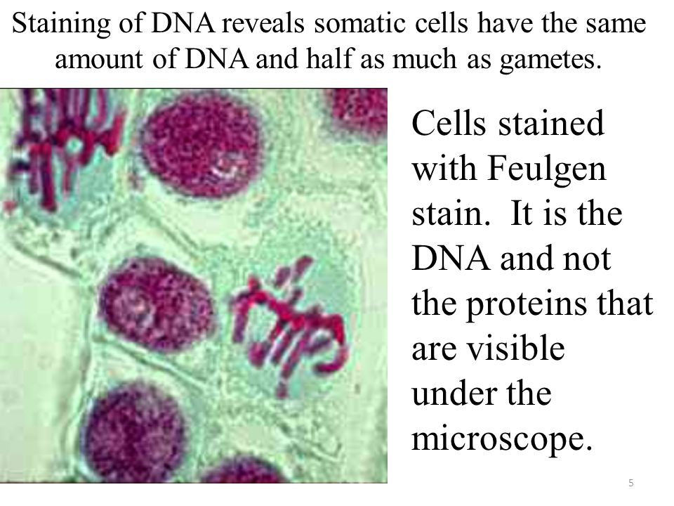 Staining of DNA reveals somatic cells have the same amount of DNA and half as much as gametes.