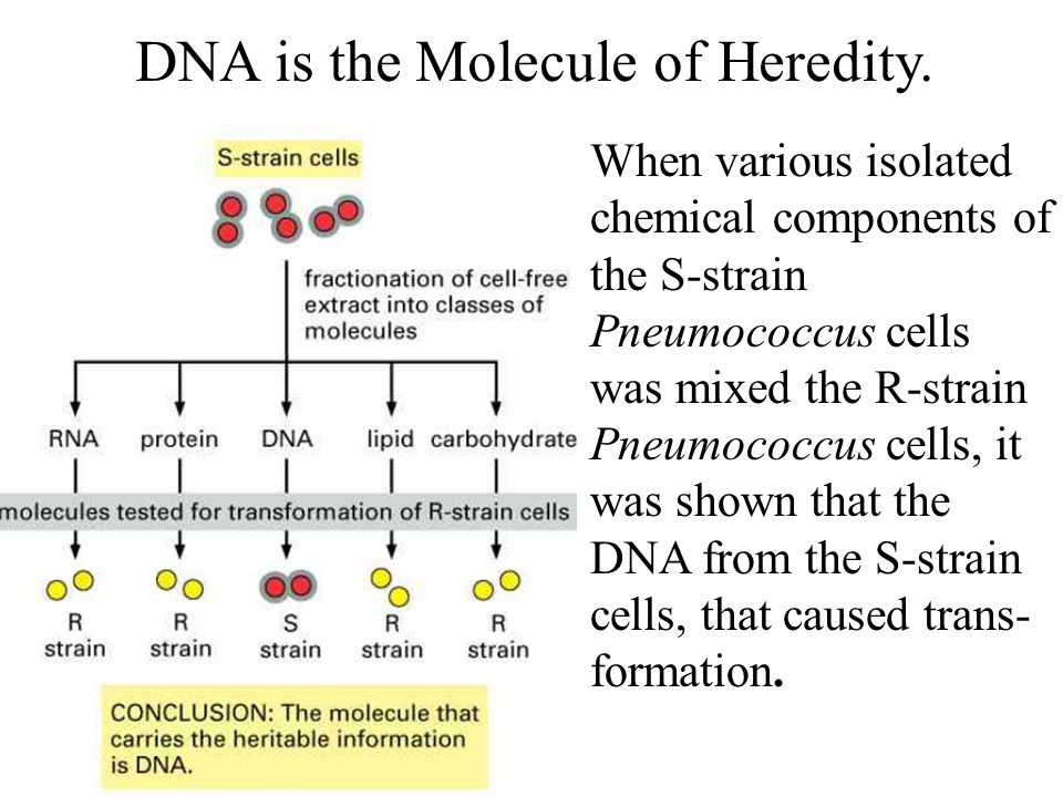 DNA is the Molecule of Heredity.