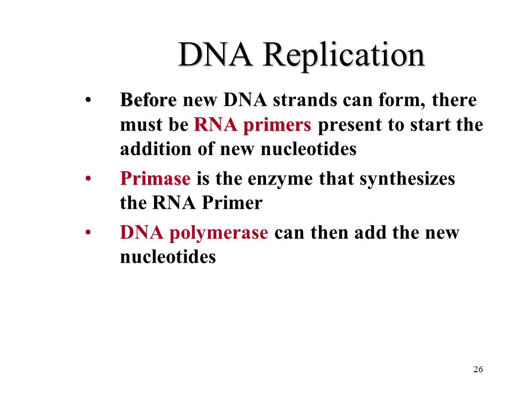 DNA Replication Before new DNA strands can form, there must be RNA primers present to start the addition of new nucleotides.