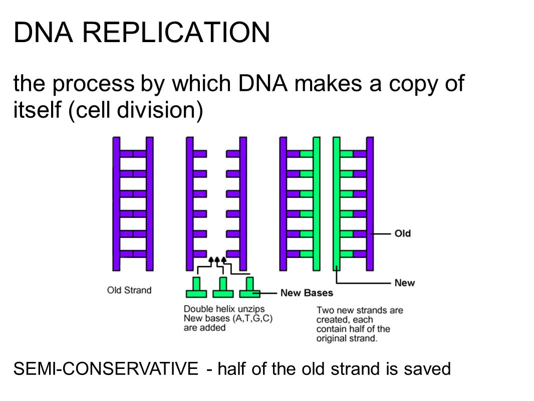 DNA REPLICATION the process by which DNA makes a copy of itself (cell division) SEMI-CONSERVATIVE - half of the old strand is saved.