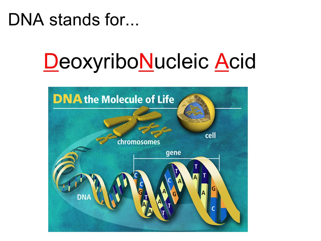 DNA stands for... DeoxyriboNucleic Acid