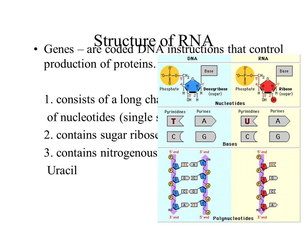 Structure of RNA Genes – are coded DNA instructions that control production of proteins. 1. consists of a long chain.