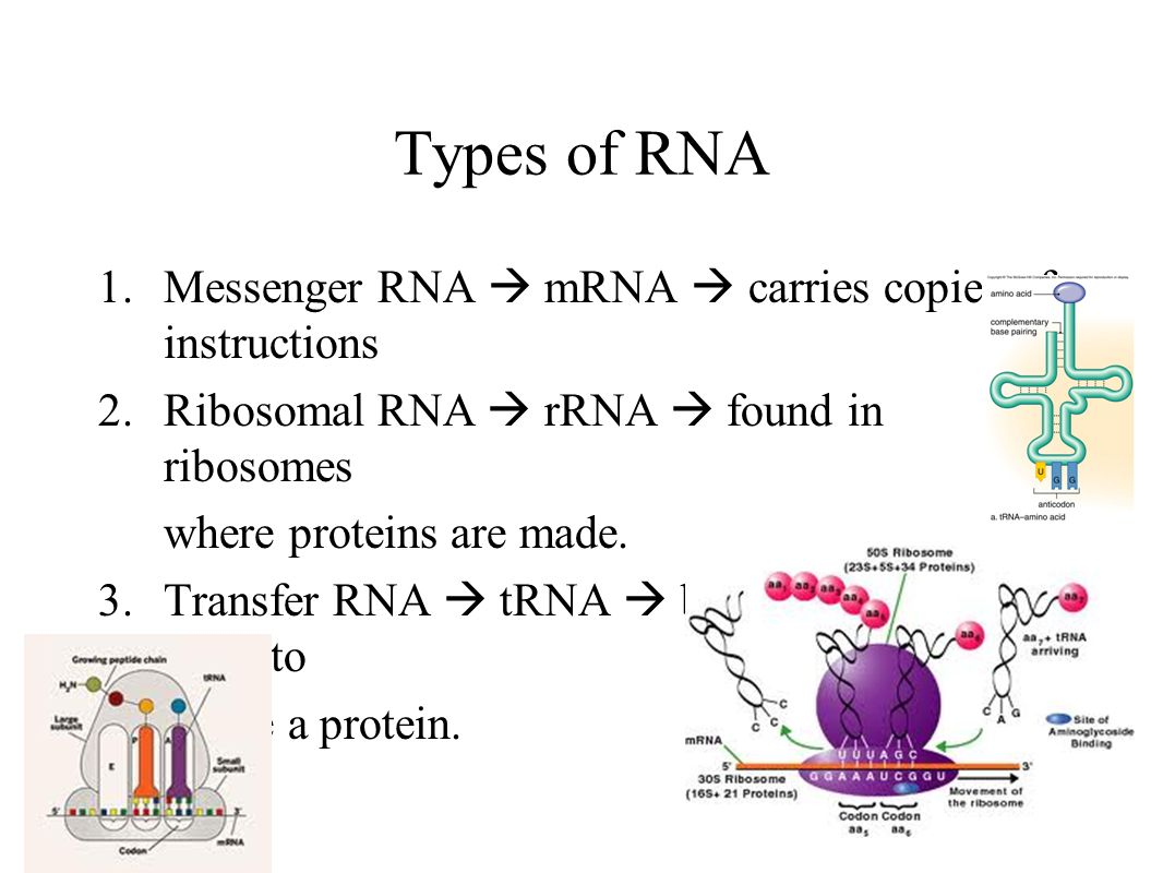 Types of RNA Messenger RNA  mRNA  carries copies of instructions