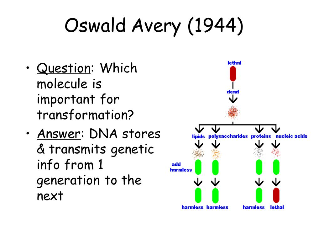 Oswald Avery (1944) Question: Which molecule is important for transformation