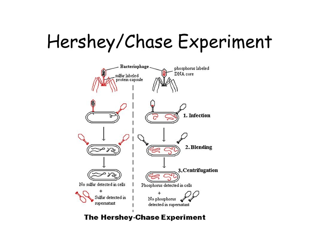 Hershey/Chase Experiment