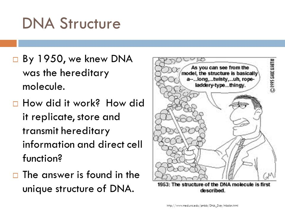 DNA Structure By 1950, we knew DNA was the hereditary molecule.