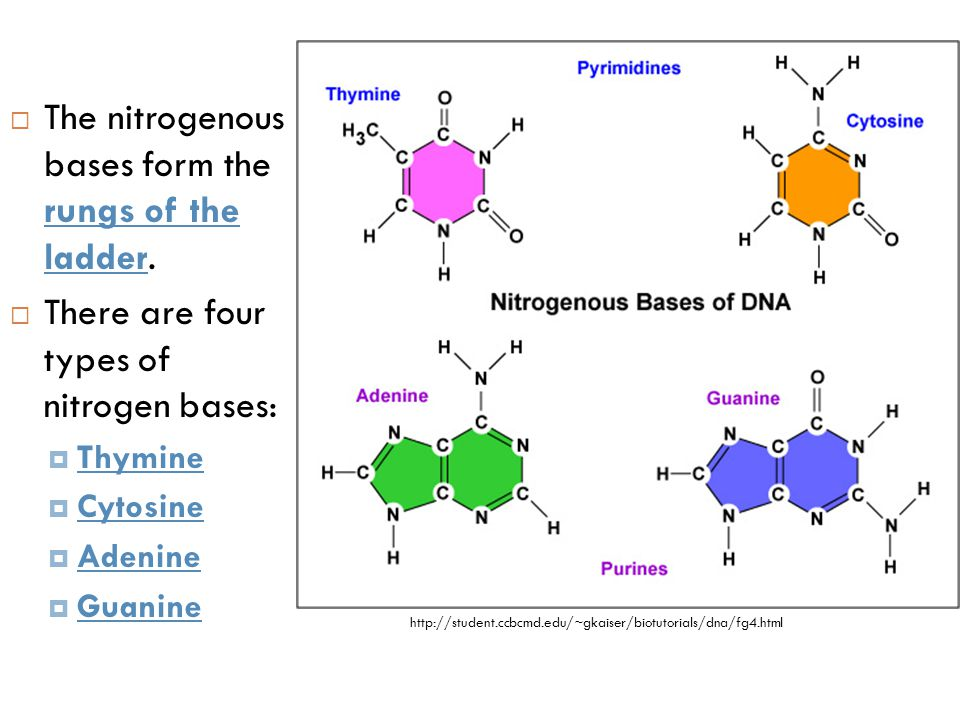 The nitrogenous bases form the rungs of the ladder.