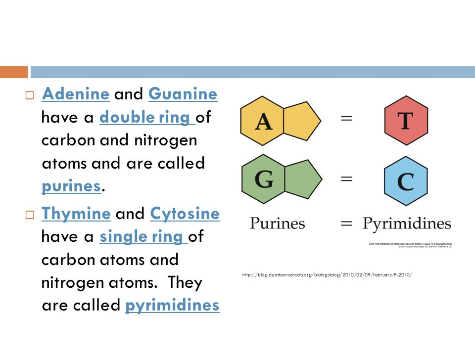 Adenine and Guanine have a double ring of carbon and nitrogen atoms and are called purines.