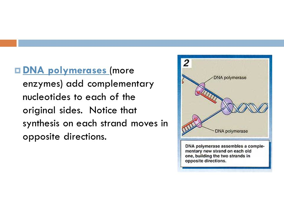 DNA polymerases (more enzymes) add complementary nucleotides to each of the original sides.