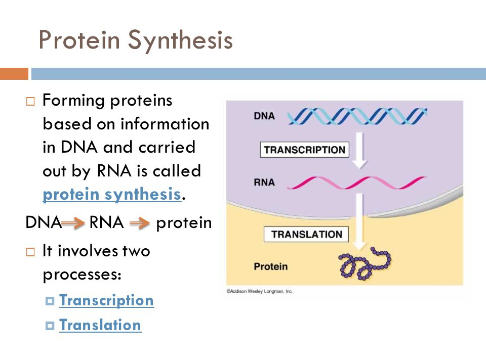 Protein Synthesis Forming proteins based on information in DNA and carried out by RNA is called protein synthesis.