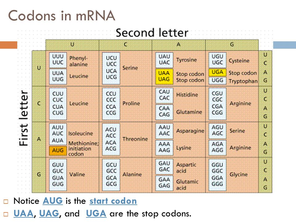 Codons in mRNA Notice AUG is the start codon
