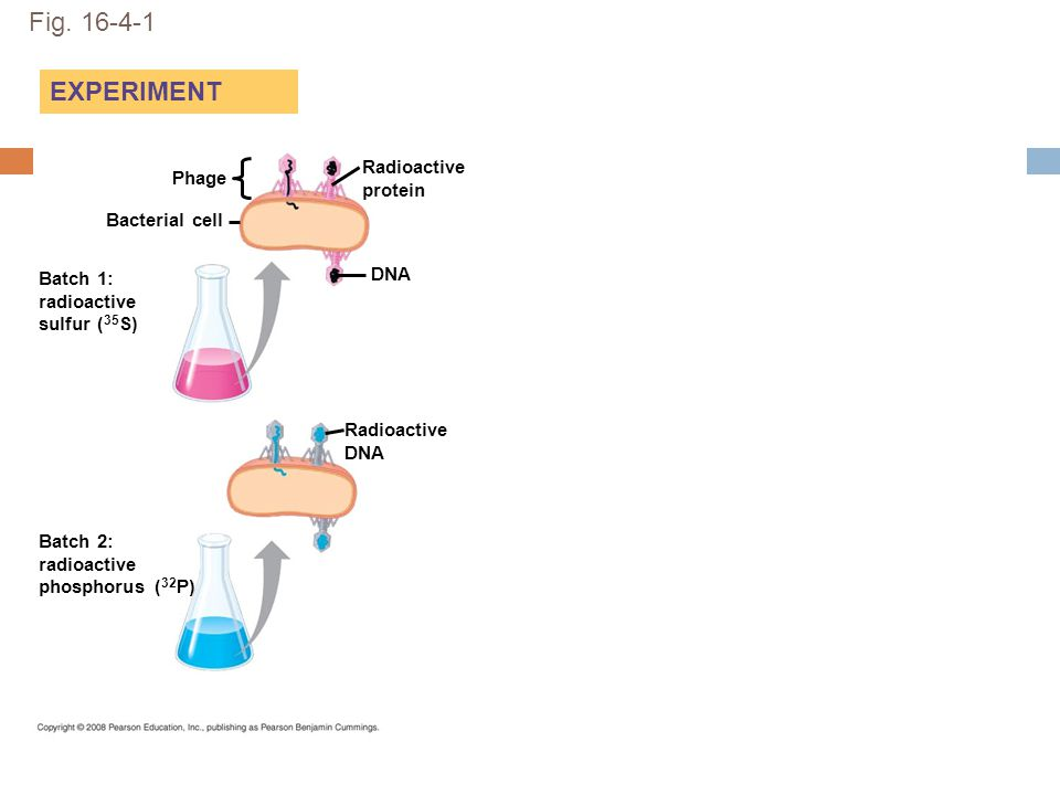 Fig. 16-4-1 EXPERIMENT Radioactive protein Phage Bacterial cell DNA