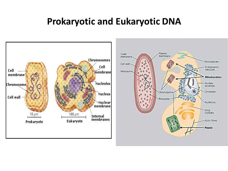 Prokaryotic and Eukaryotic DNA