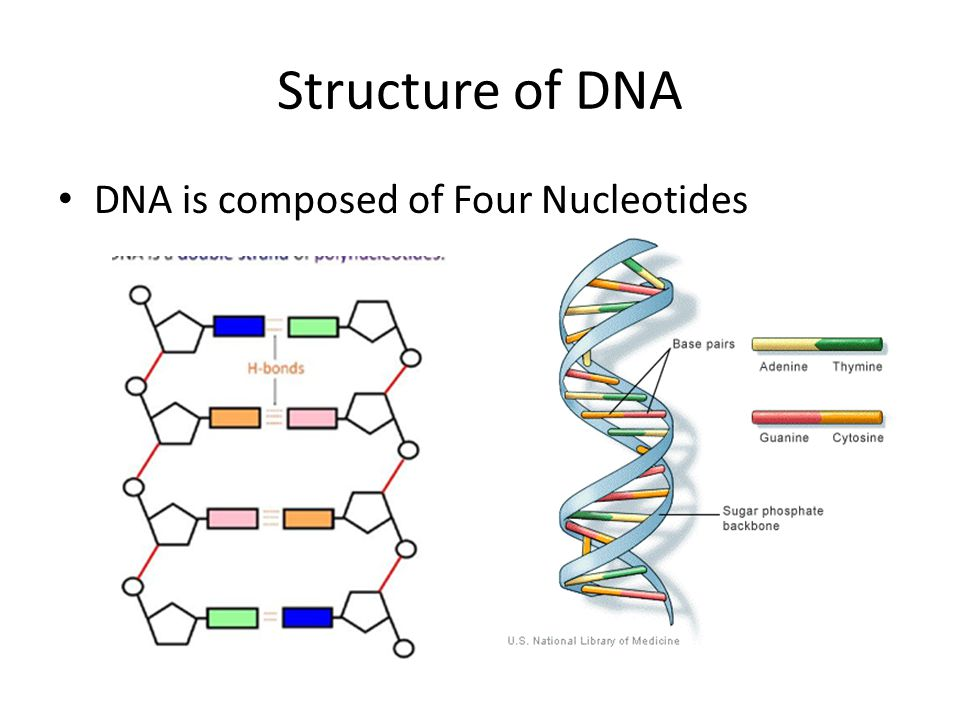 Structure of DNA DNA is composed of Four Nucleotides