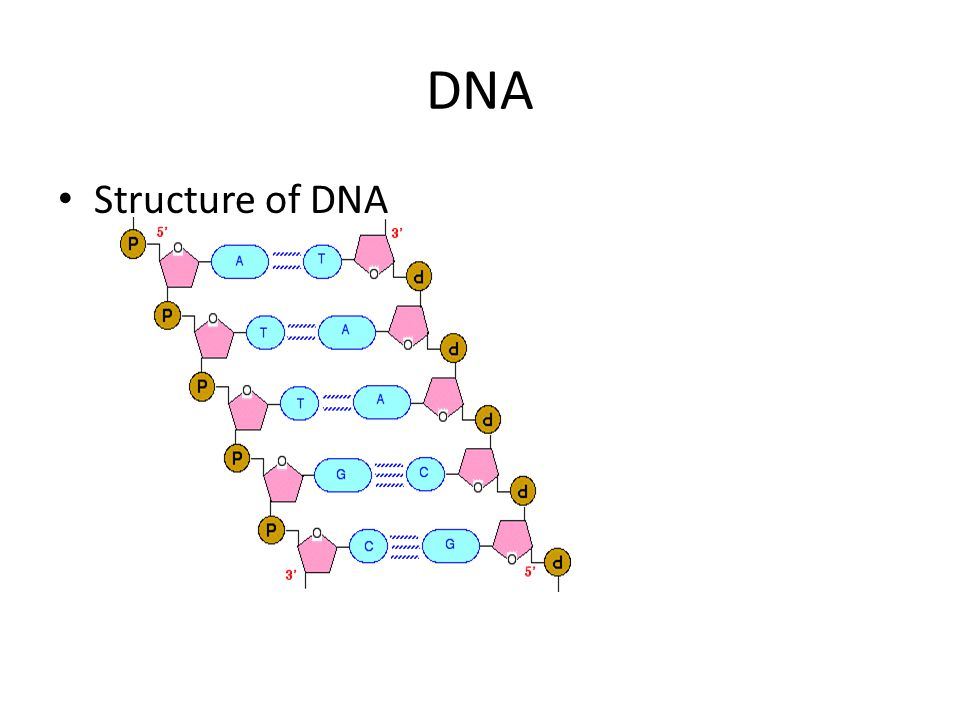 DNA Structure of DNA
