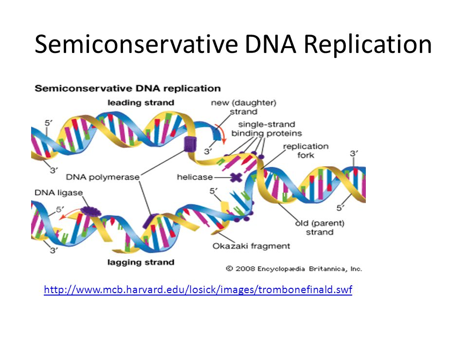 Semiconservative DNA Replication