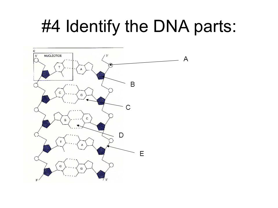 #4 Identify the DNA parts: