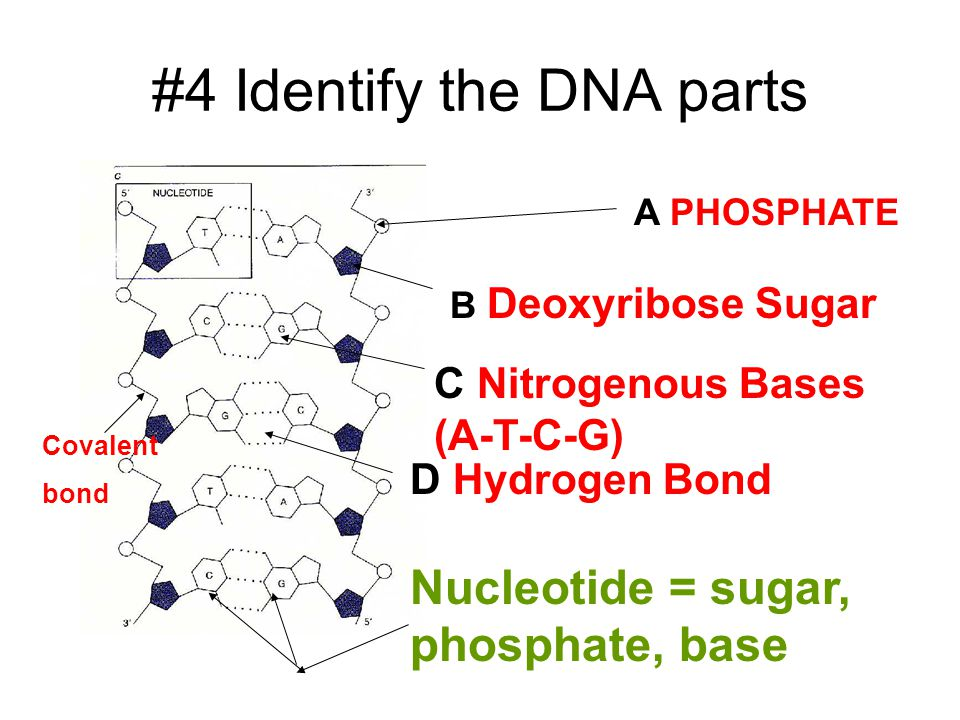 #4 Identify the DNA parts