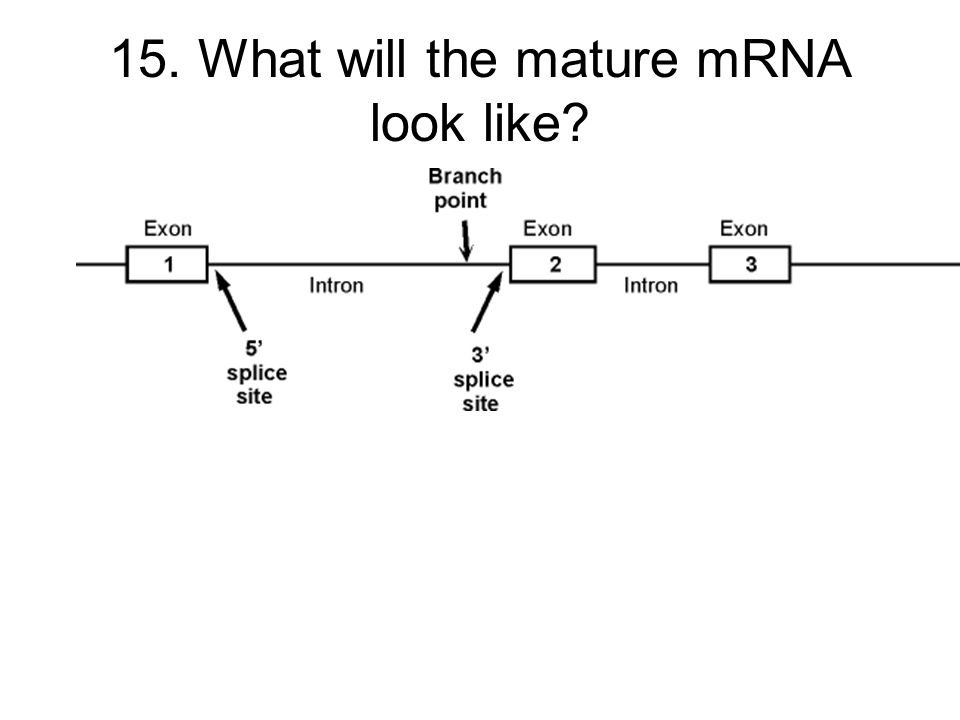 15. What will the mature mRNA look like
