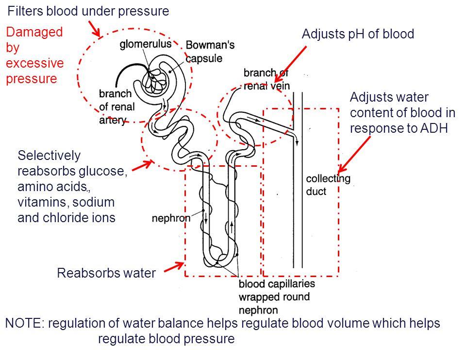 Filters blood under pressure