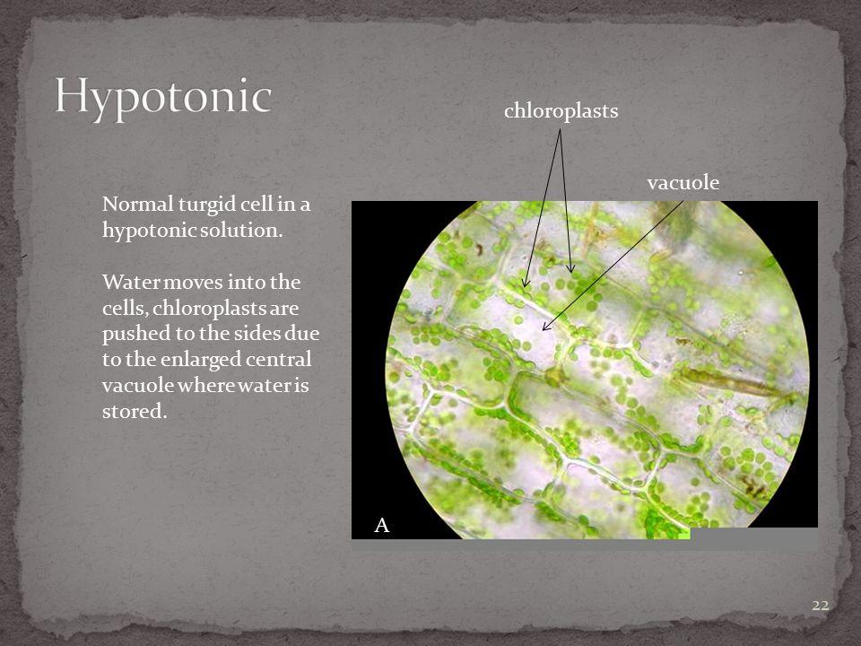 Hypotonic chloroplasts vacuole