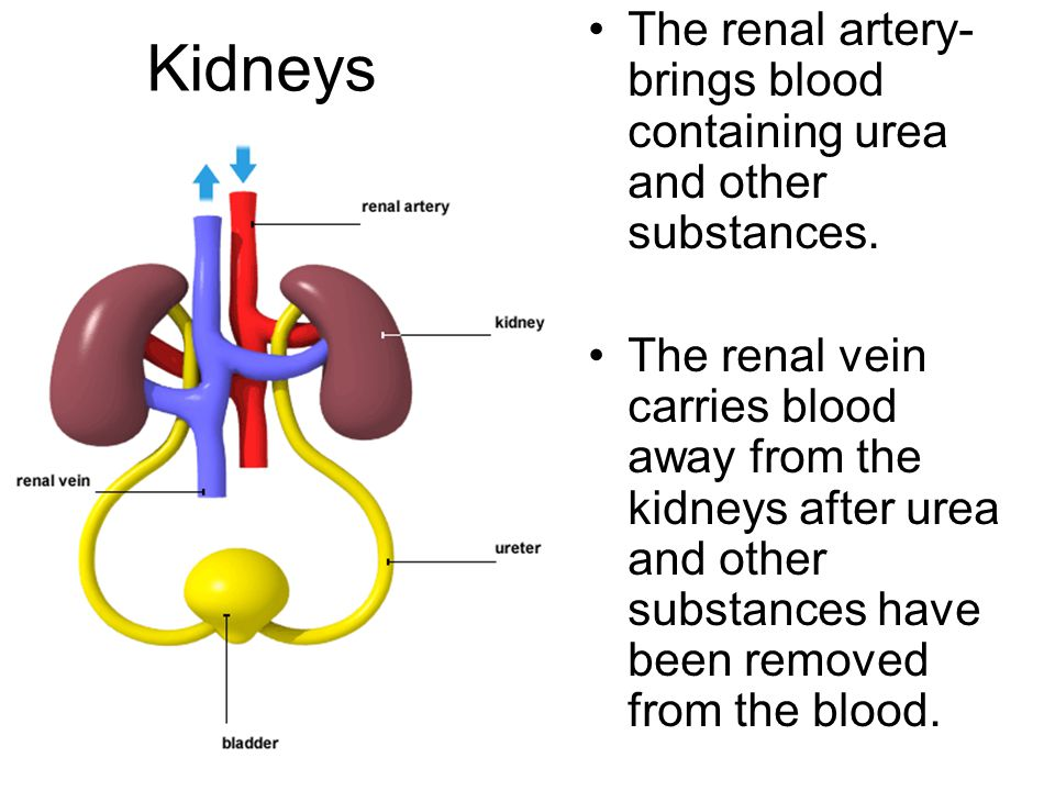 The renal artery- brings blood containing urea and other substances.