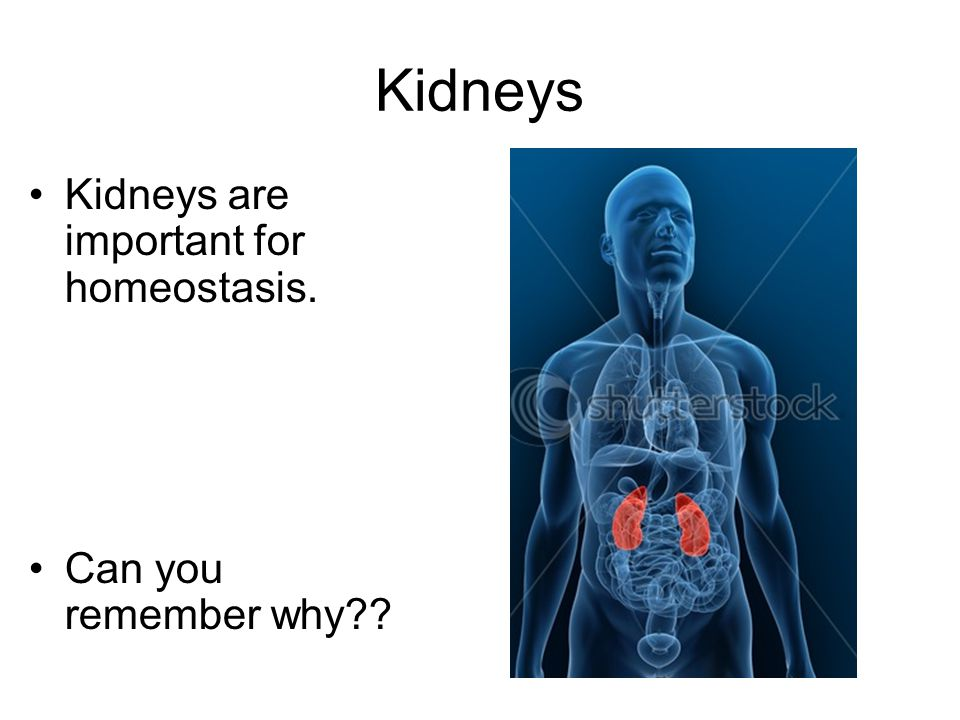 Kidneys Kidneys are important for homeostasis. Can you remember why