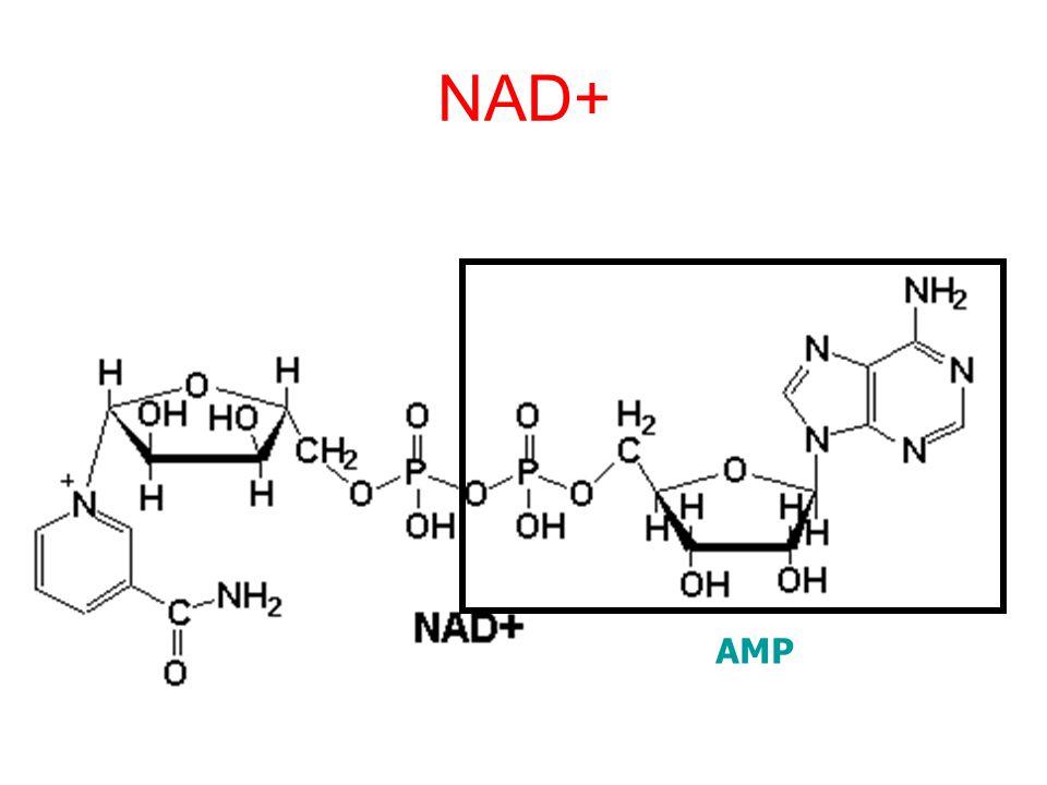 NAD+ AMP