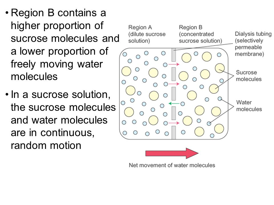 Region B contains a higher proportion of sucrose molecules and a lower proportion of freely moving water molecules