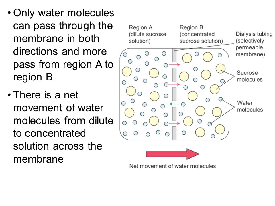 Only water molecules can pass through the membrane in both directions and more pass from region A to region B