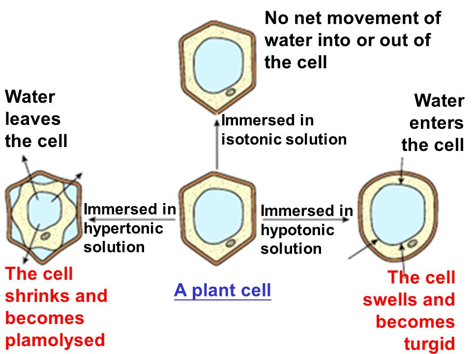The cell shrinks and becomes plamolysed
