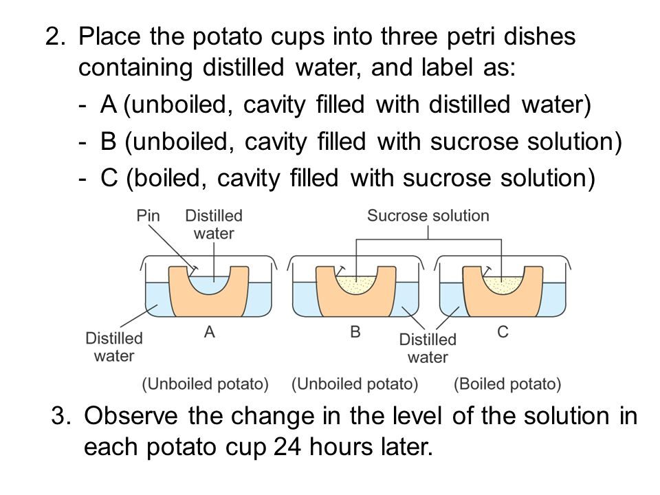 2. Place the potato cups into three petri dishes containing distilled water, and label as: