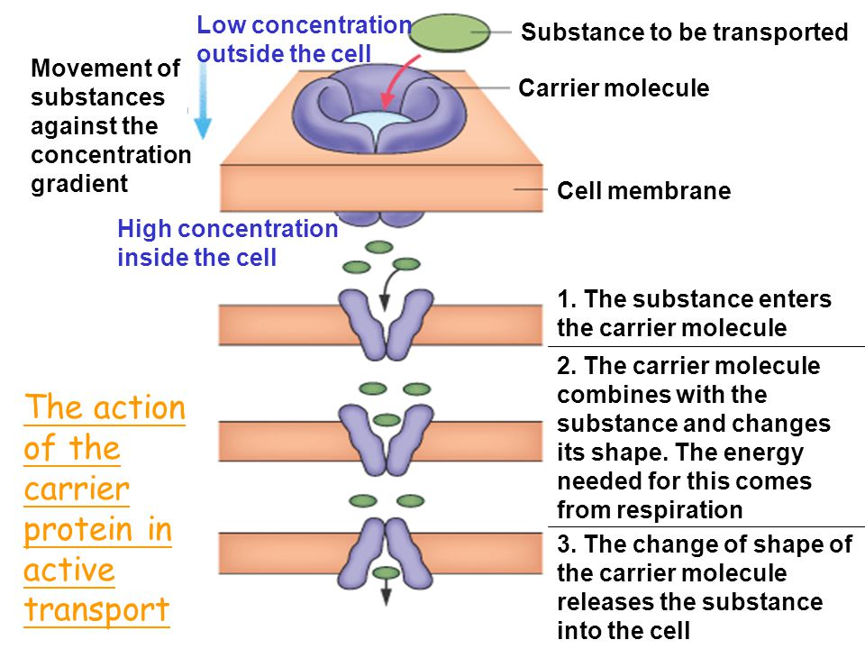 The action of the carrier protein in active transport