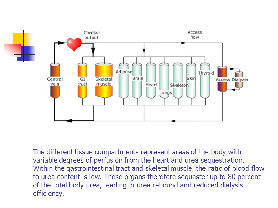 The different tissue compartments represent areas of the body with variable degrees of perfusion from the heart and urea sequestration.