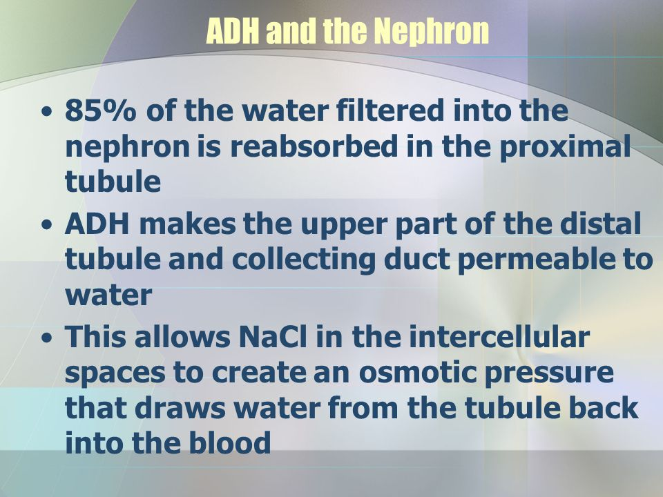 ADH and the Nephron 85% of the water filtered into the nephron is reabsorbed in the proximal tubule.