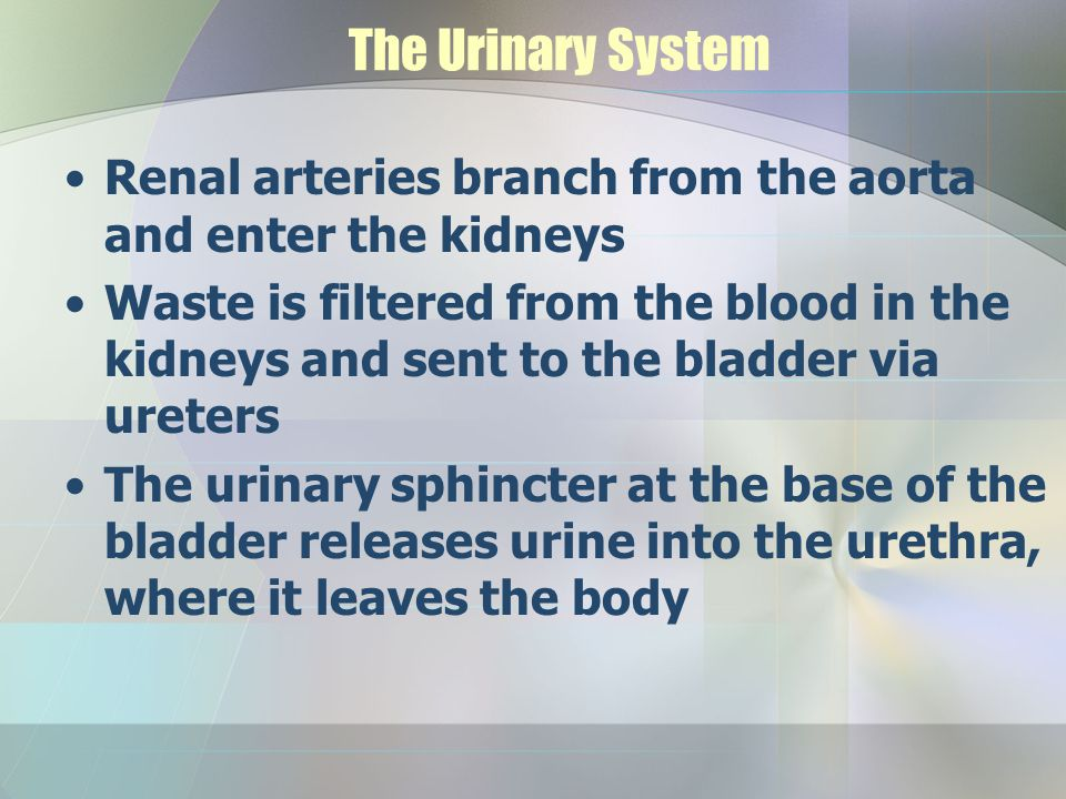 The Urinary System Renal arteries branch from the aorta and enter the kidneys.
