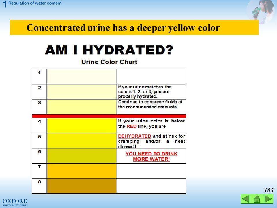 Concentrated urine has a deeper yellow color