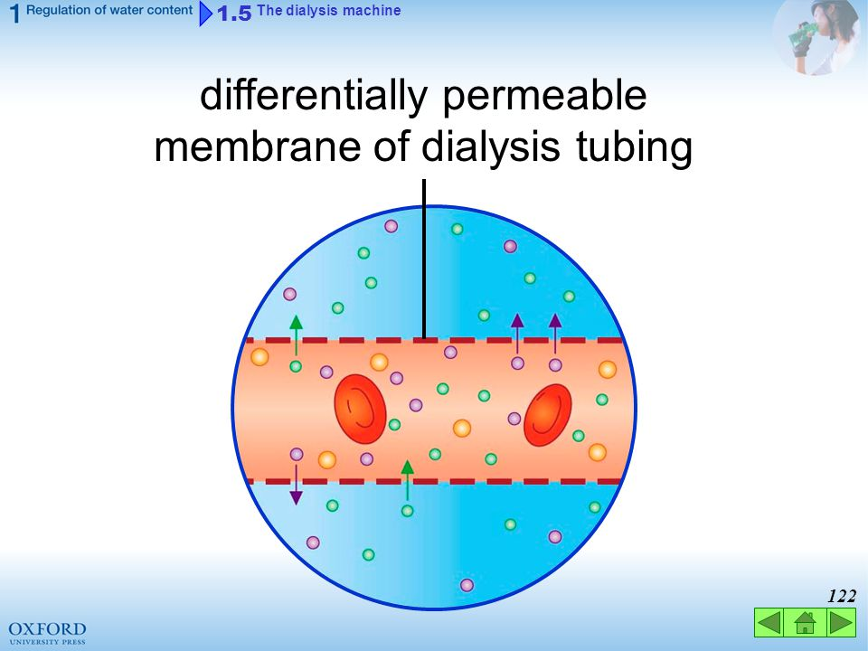 differentially permeable membrane of dialysis tubing