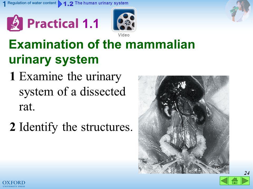 Examination of the mammalian urinary system