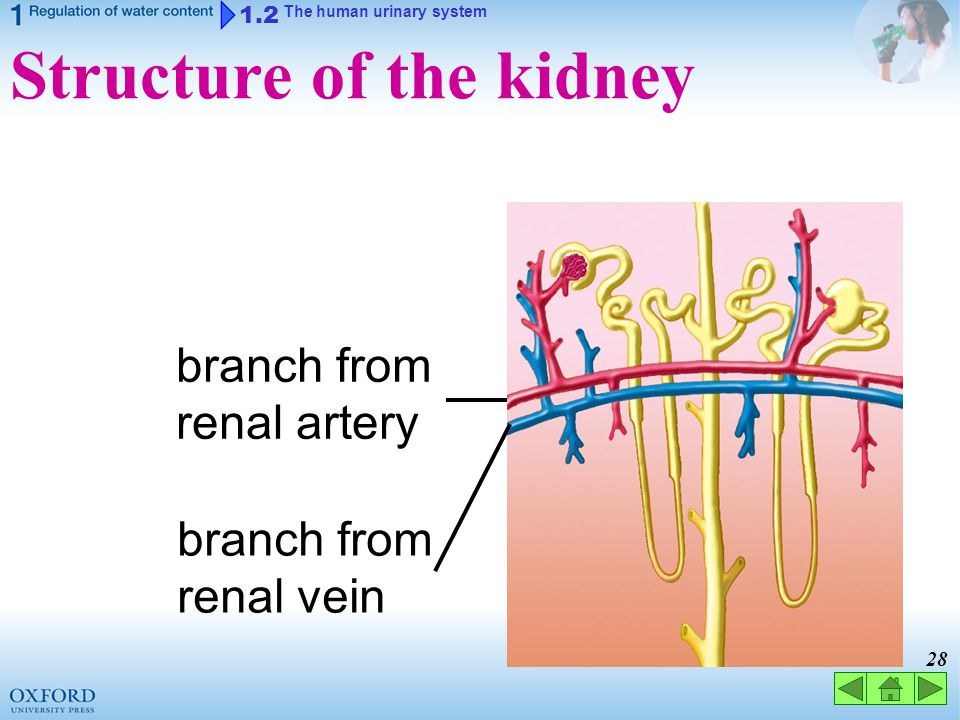 Structure of the kidney