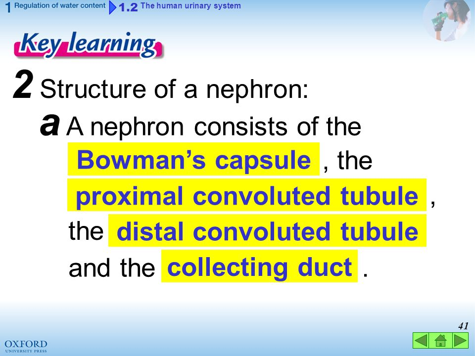 proximal convoluted tubule distal convoluted tubule