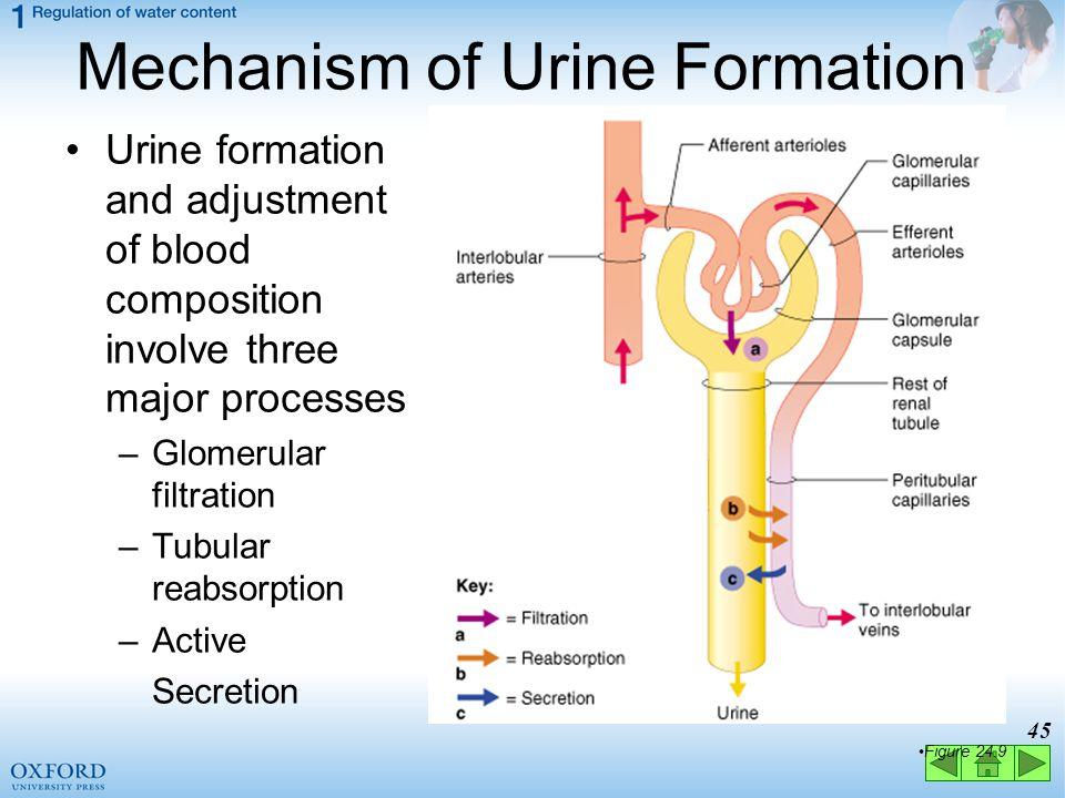 Mechanism of Urine Formation