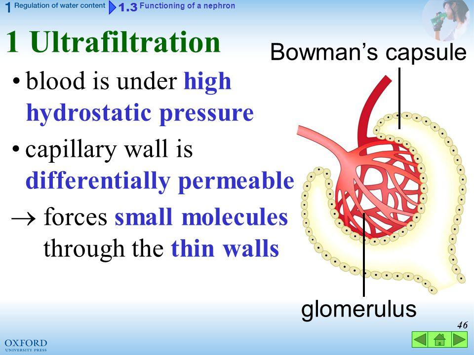 1 Ultrafiltration blood is under high hydrostatic pressure